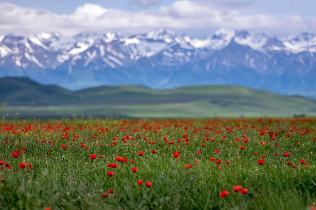 Field of red poppies in Kyrgyzstan with Chinese border in the background