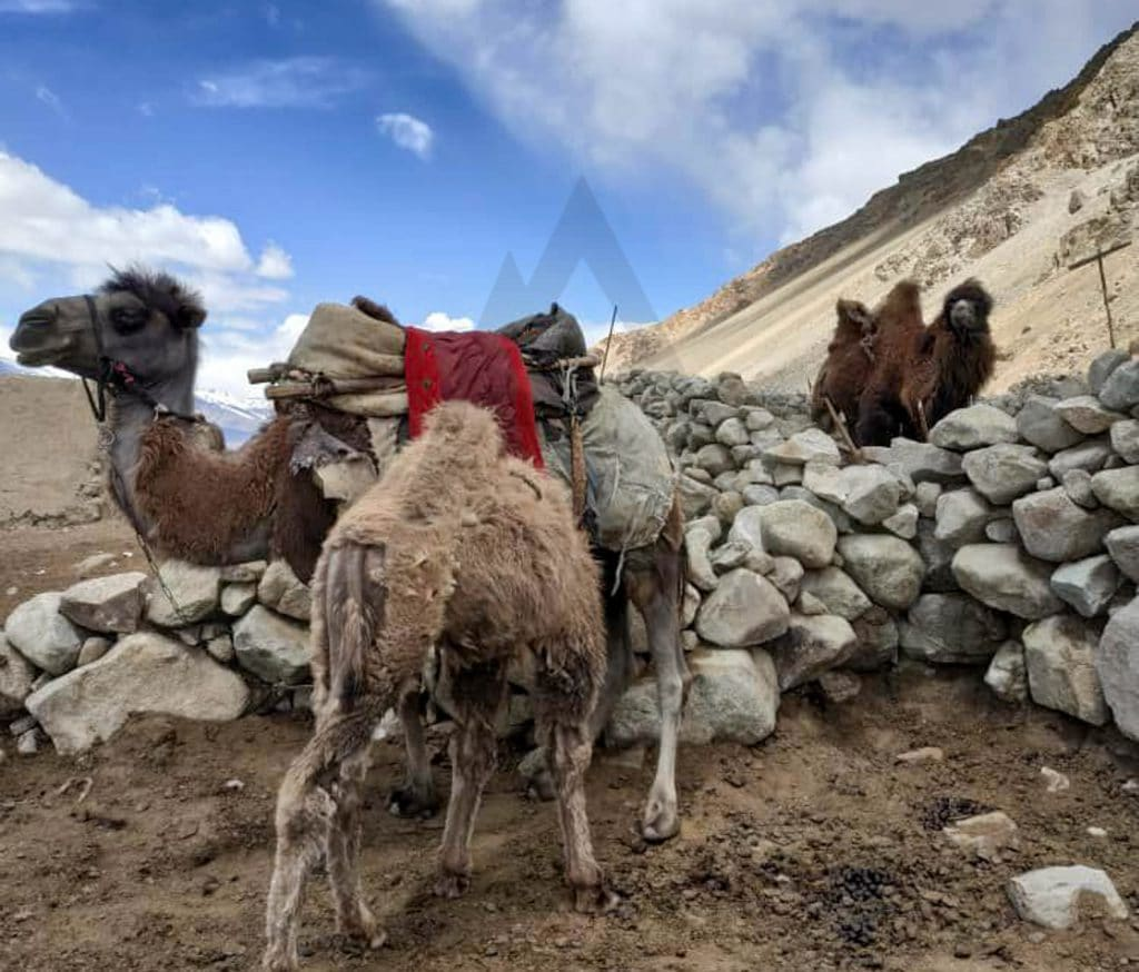 Pamir_camels
