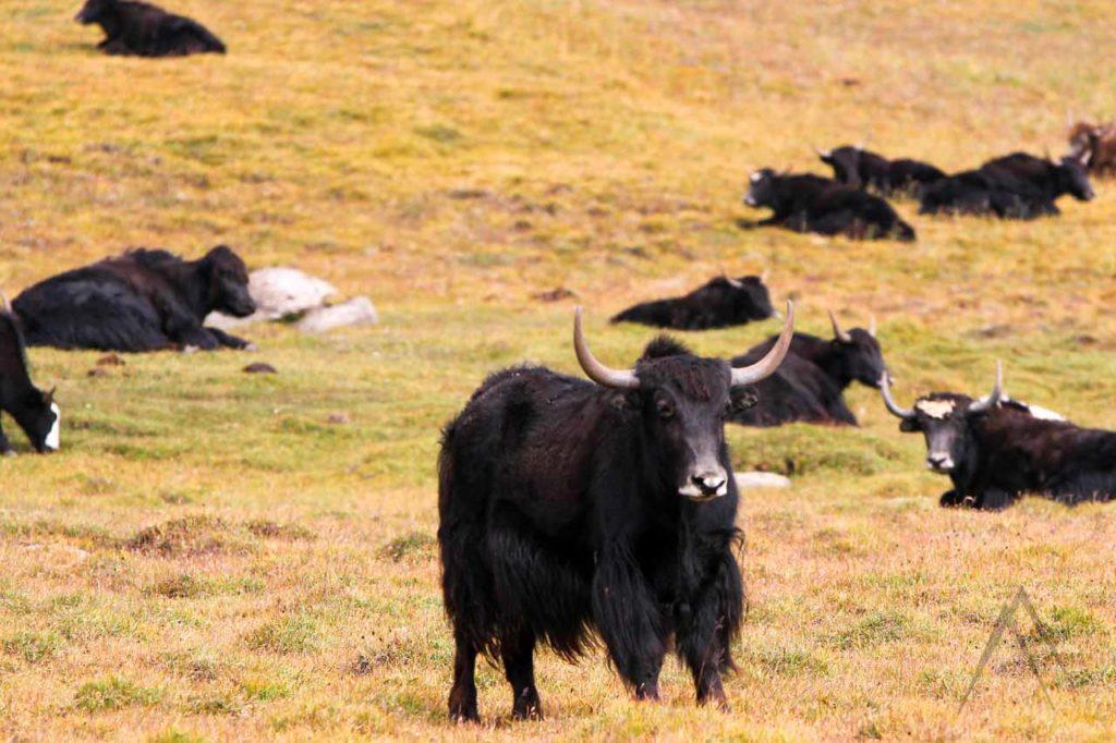 Yaks grazing in Son Kul, Kyrgyzstan